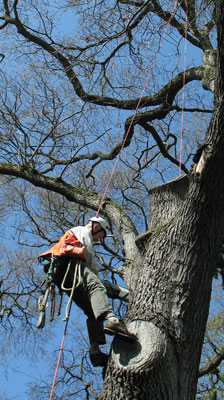 Arborist roped into a tree, conducing a resistance drill test 30 feet off of the ground